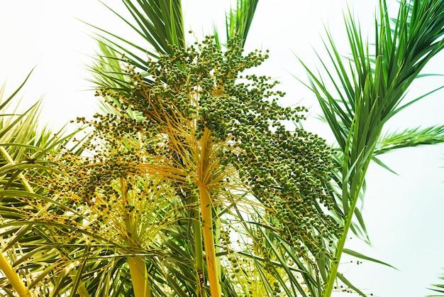 Árvore de coco cocos nucifera mostrando um monte de flores de coco bonito na luz solar brilhante.