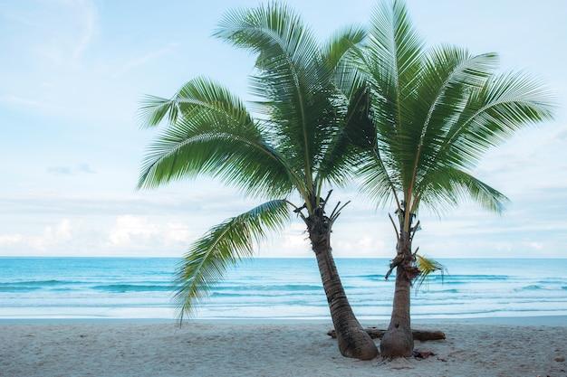 Árvore de coco gêmeo na praia.