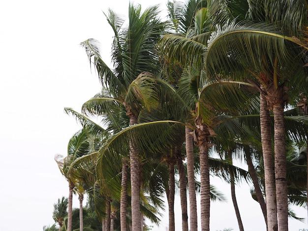 Árvore de coco tropical na praia.
