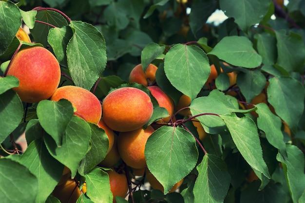 Árvore de damasco com frutos maduros brilhantes