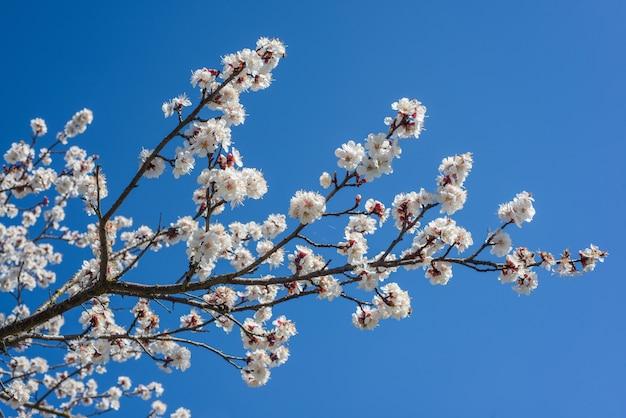 Árvore de damasco de primavera