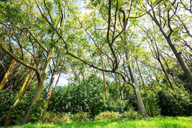 Árvore de eucalipto arco-íris na ilha de maui, havaí