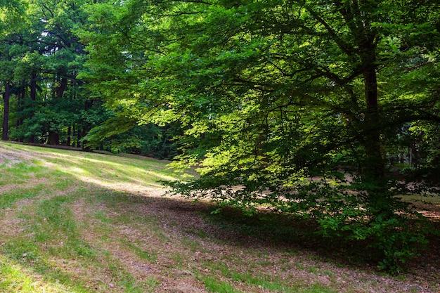 Árvore de faia na colina gramada no parque da cidade de verão