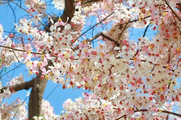 Árvore de flor branca rosa na tailândia