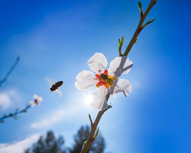 Árvore de flor de amêndoa com polinização de abelha na primavera