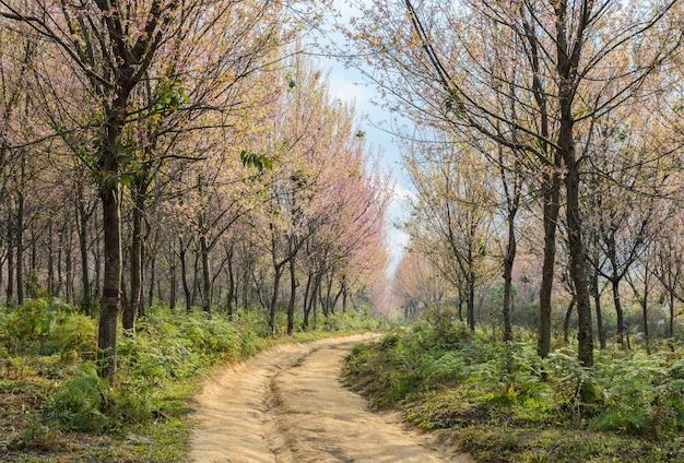 Árvore de flor de cerejeira selvagem do himalaia na tailândia