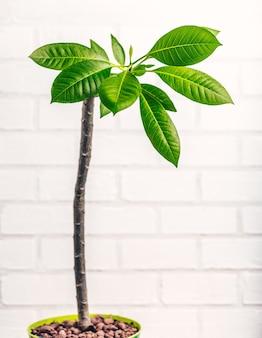 Árvore de flor de frangipani na superfície branca.