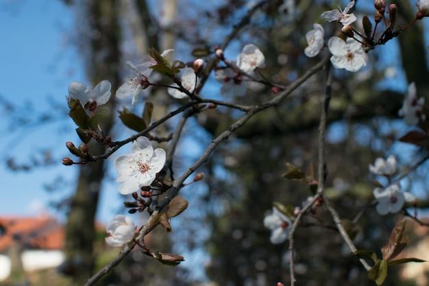 Árvore de floração de primavera