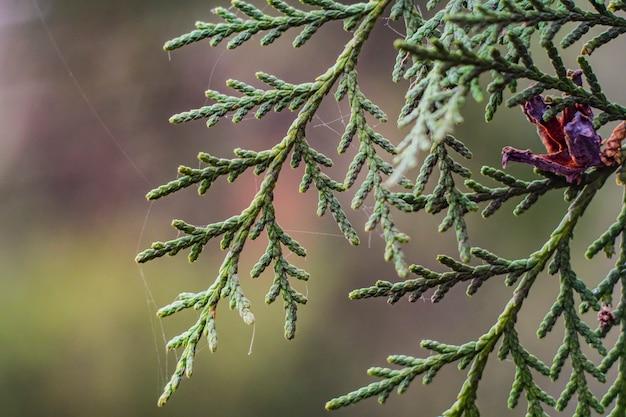 Árvore de flores de zimbro galho