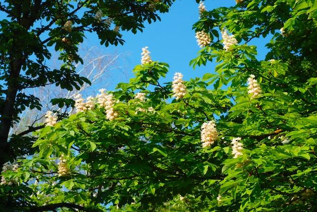 Árvore de florescência da castanha de florescência. flores da primavera e jardim.