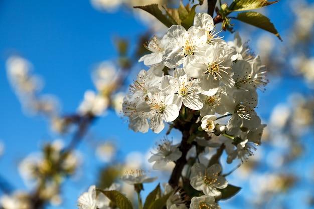 Árvore de florescência da cereja com uma inflorescência branca.