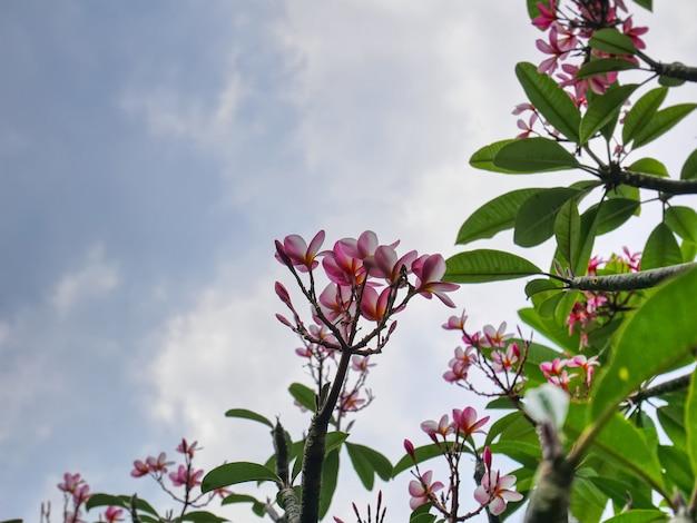 Árvore de florescência plumeria rosa e branco contra azul céu nublado com foco seletivo