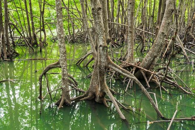 Árvore de floresta de mangue e raiz em tung prong thong, rayong, tailândia