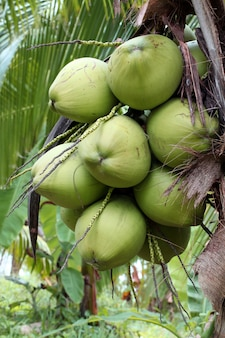 Árvore de fruta coco