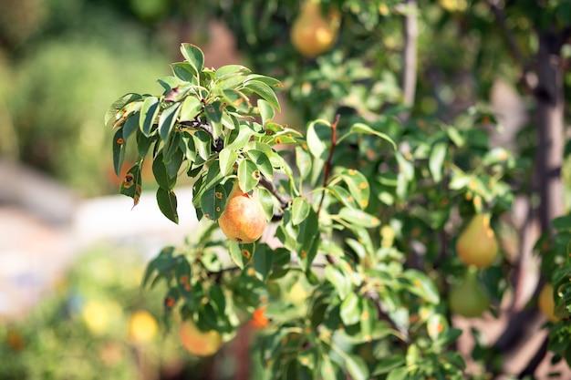 Árvore de fruto do jardim. a pêra cresce no terreno do jardim. árvores frutíferas em crescimento. fazenda