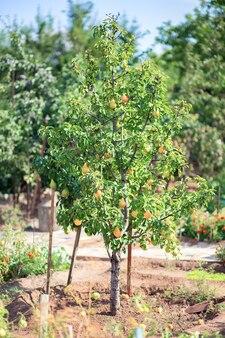 Árvore de fruto do jardim. uma pêra cresce em um terreno pessoal