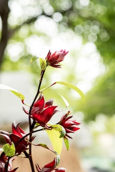 Árvore de frutos de rosella no fundo da natureza.