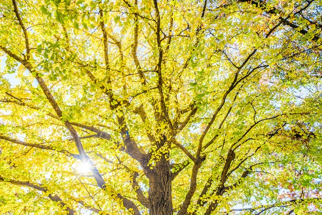 Árvore de ginkgo amarelo em tóquio