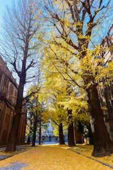 Árvore de ginkgo na estrada, temporada de outono
