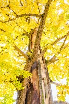 Árvore de ginkgo no japão