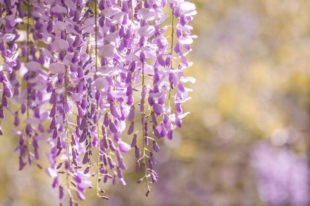 Árvore de glicínias em flor