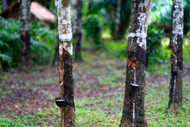 Árvore de haste de borracha