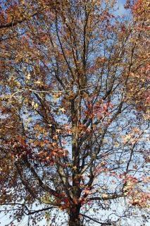 Árvore de inverno (versão colorida)