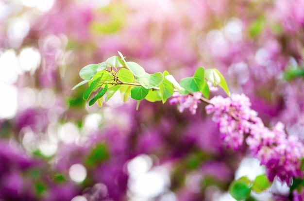 Árvore de judas florescendo. cercis siliquastrum, canadensis, redbud oriental.