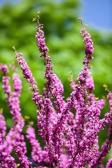 Árvore de judas rosa. flores no galho redbud. galhos de árvores com flores cor de rosa e o céu azul claro ao fundo