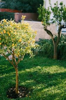 Árvore de kumquat ou fortunella com frutas laranjas maduras nos galhos do jardim