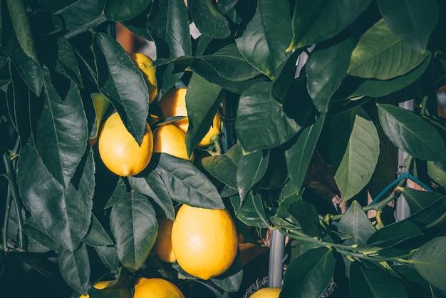 Árvore de limão em uma panela