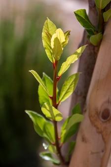 Árvore de louro (laurus nobilis) cultivada na região do algarve, portugal.