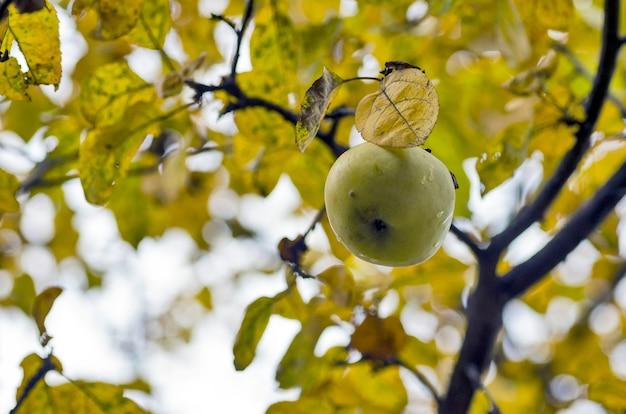 Árvore de maçã. outono