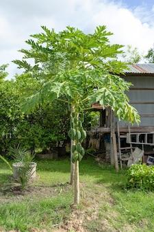 Árvore de mamão na área do quintal. mamão verde na árvore.