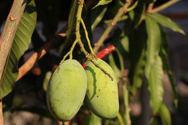 Árvore de manga orgânica verde