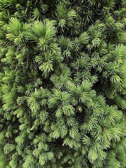 Árvore de natal verde com coníferas verticais