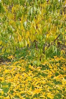 Árvore de nectarina com folhas verdes e amarelas e outras amarelas que caíram. pomar em uma temporada de outono.