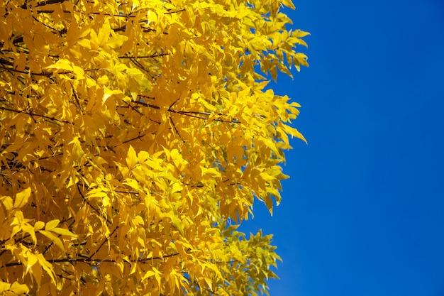 Árvore de outono com folhas amarelas contra o céu azul