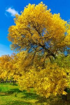 Árvore de outono com folhas amarelas no parque contra o céu azul