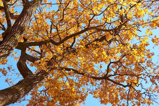 Árvore de outono com folhas douradas no céu azul