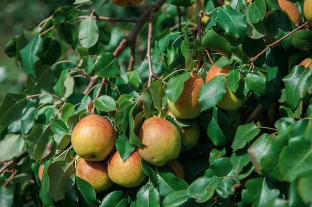 Árvore de pêra com frutas