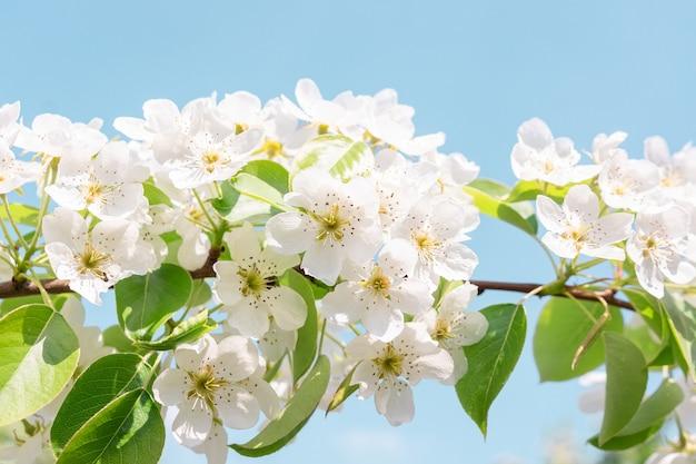 Árvore de pêra na primavera