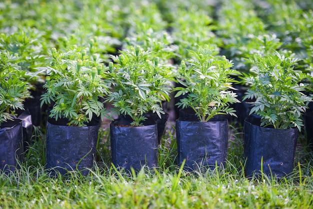 Árvore de planta de calêndula em saco plástico preto no berçário ao ar livre - em bruto de broto de flor jovem de calêndula