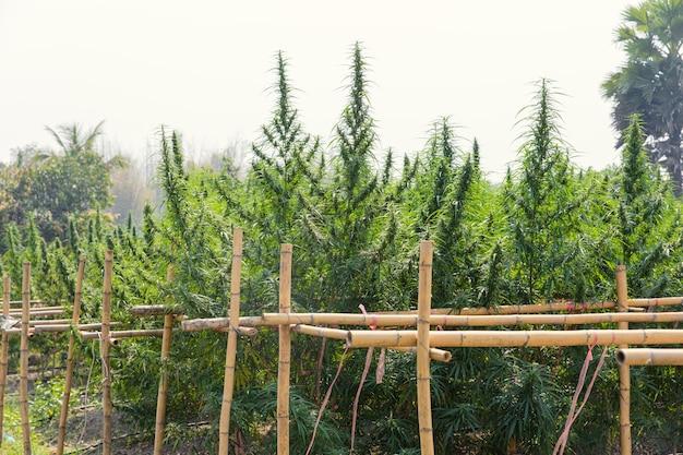 Árvore de planta de maconha, agricultura de cultivo de cannabis sativa legalmente na tailândia para extrato de óleo de botões de cânhamo.