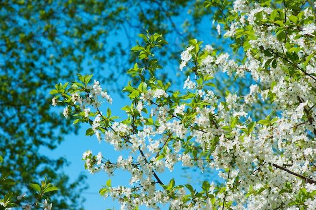Árvore de primavera floração no jardim close-up