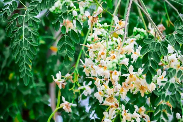 Árvore de rabanete ou baqueta tem flor de laranja branco e amarelo