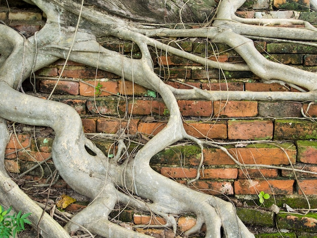 Árvore de raiz coberta sujo velho muro de tijolos com musgo anexado, textura de fundo