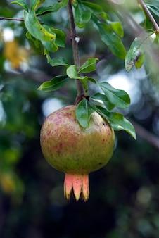 Árvore de romã com frutos maduros