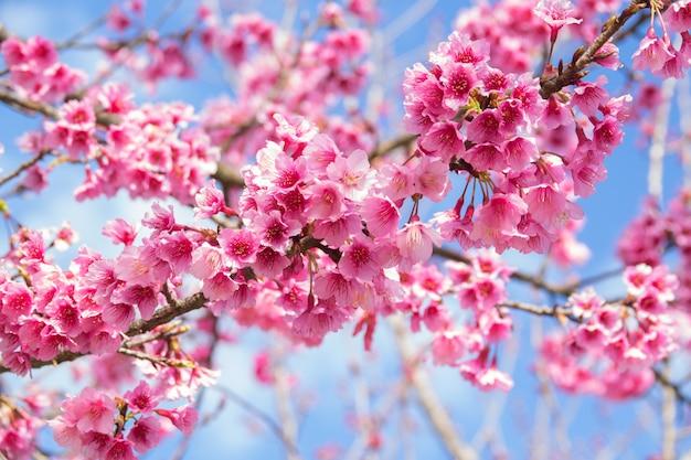 Árvore de sakura com flores