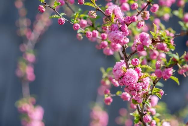 Árvore de sakura floresce no parque primavera. flores cor de rosa da árvore de cereja em flor